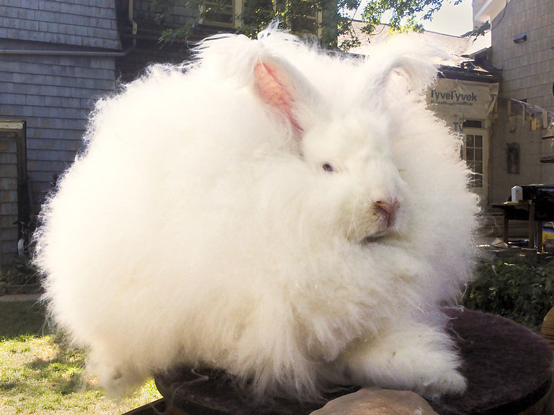 Angora Rabbit - Thoughts on Becoming a Yarn Consumer - Sakeenah.com