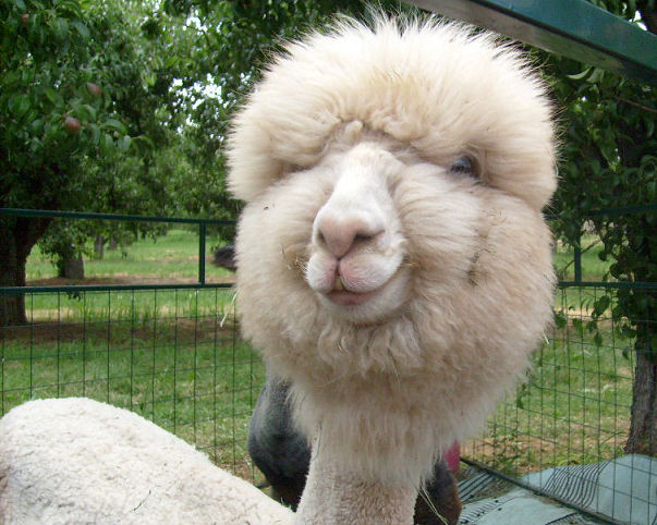 Cute Alpaca! 10 Reasons to Love Alpaca Yarn - Learn why this natural fiber is well loved for knit and crochet projects